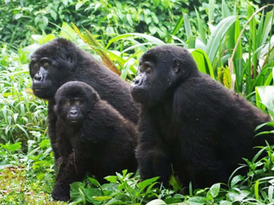 Gorilla trekking cost, budget Gorilla safaris in Uganda