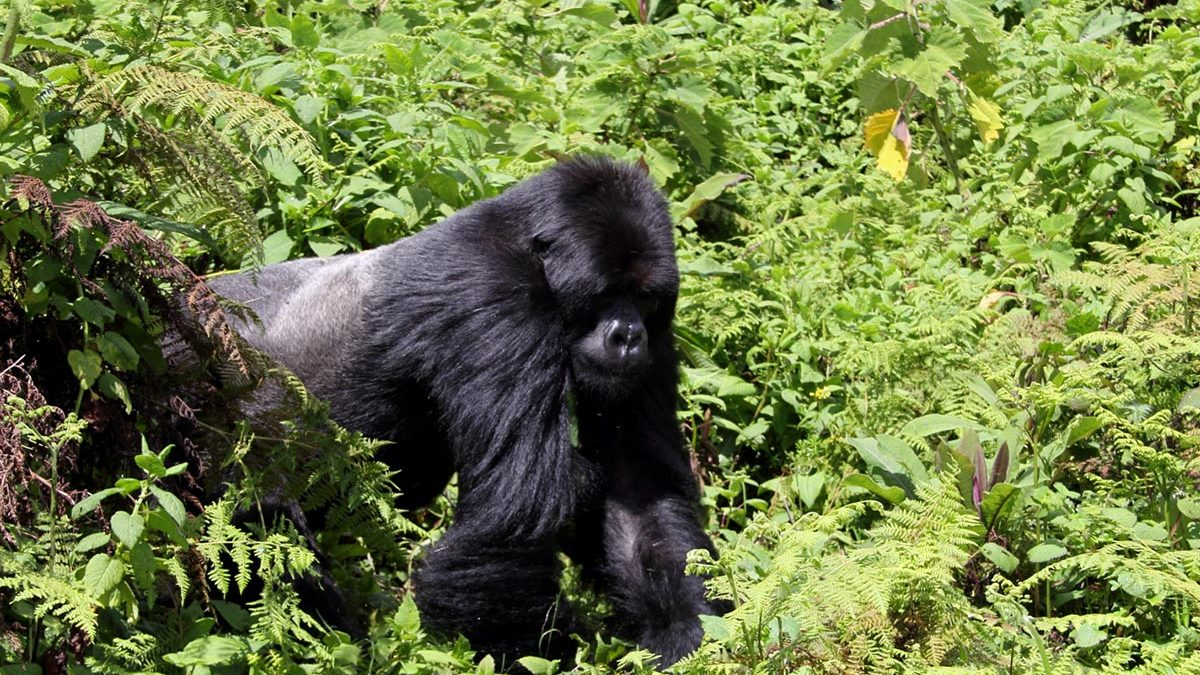 Gorilla trekking December,gorilla trekking groups