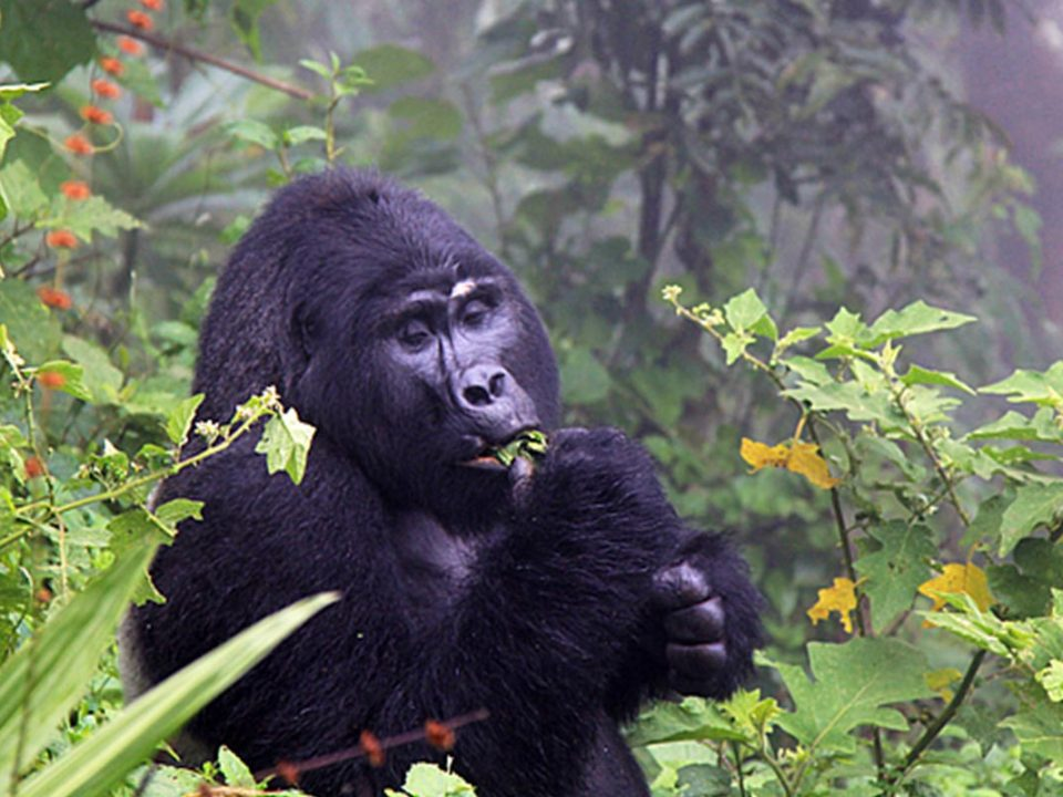 Gorilla trekking Uganda difficulty, how difficulty is gorilla trekking in uganda