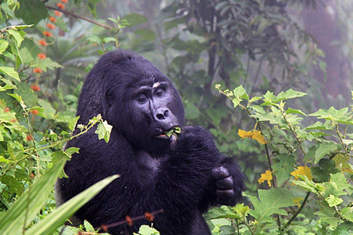 Gorilla trekking Uganda difficulty, how difficulty is gorilla trekking in uganda