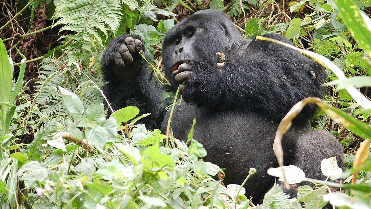 Gorilla trekking do's and don'ts