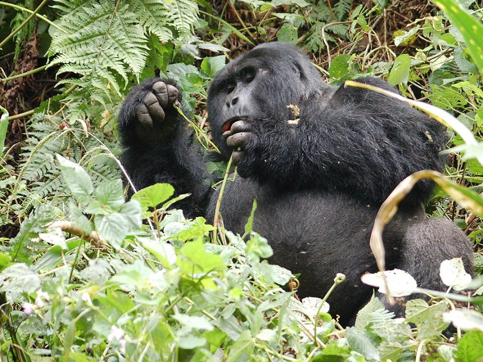Gorilla trekking do's and don'ts