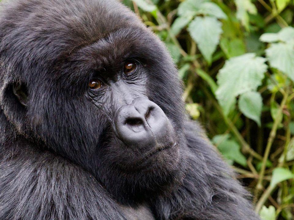 Gorilla trekking duration, Gorilla trekking in Uganda and Rwanda