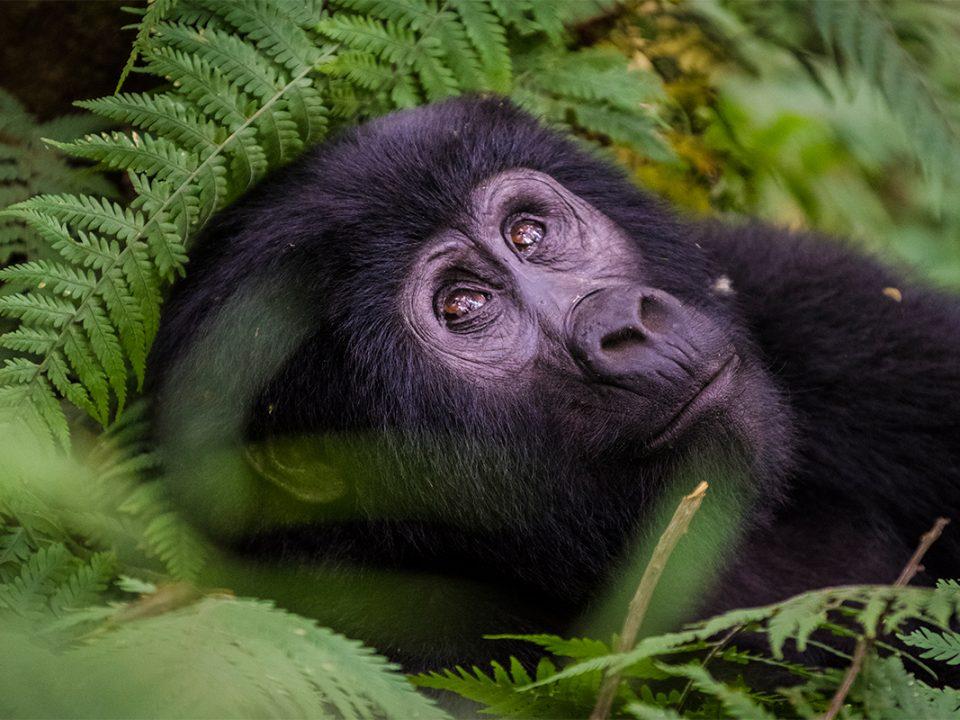 Gorilla trekking for East African residents