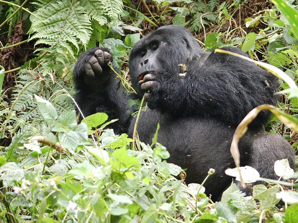 Gorilla trekking for small group