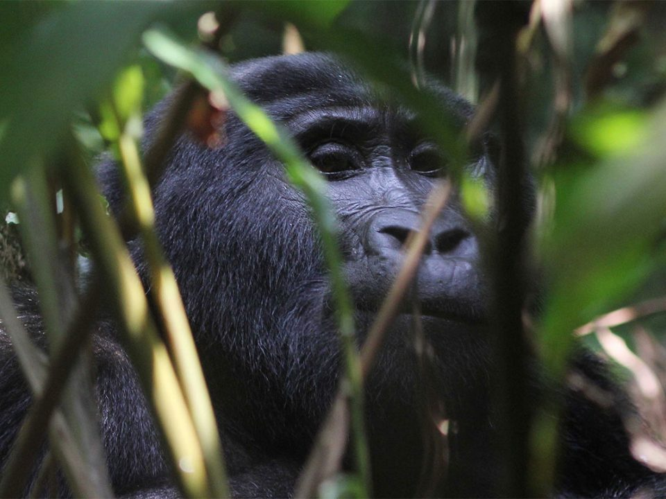 Family gorilla trekking safaris for teenagers