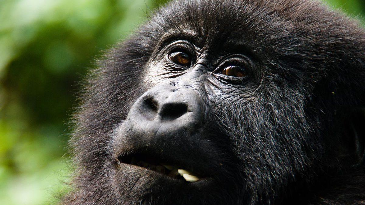 Gorilla trekking safaris from Malaba border