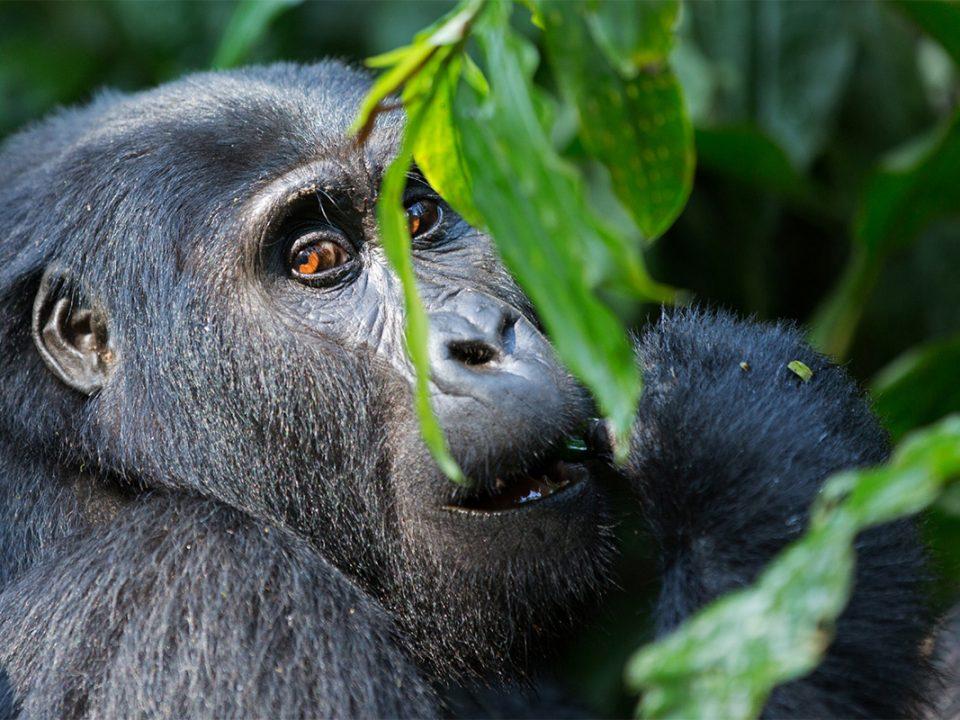 6 days gorilla trekking Uganda from DR Congo border