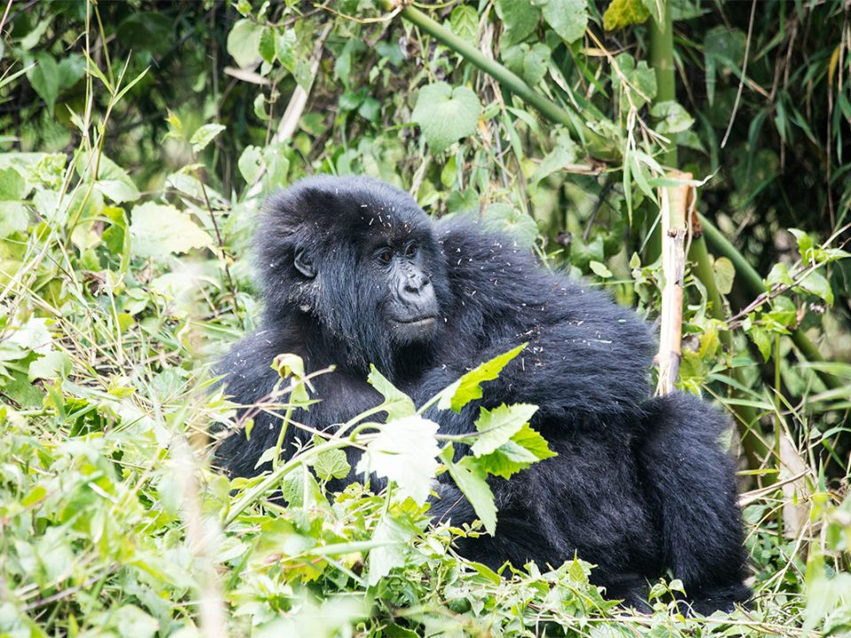 Gorilla trekking guide for Africa