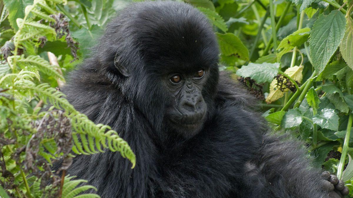 Gorilla tracking safari in June