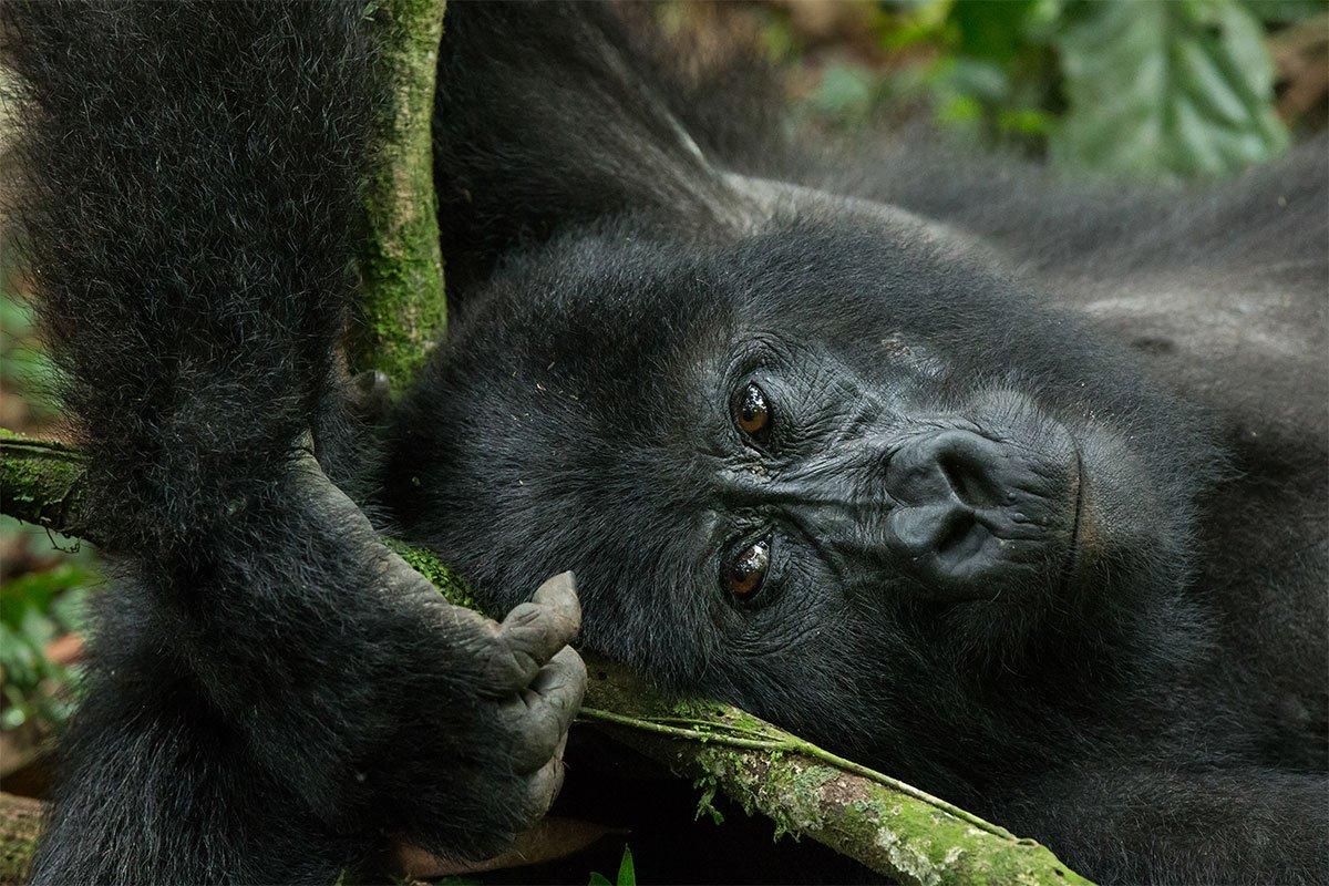 Gorilla trekking in Uganda Africa