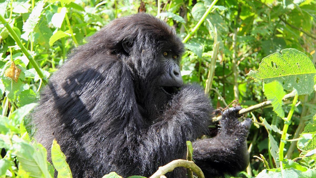 gorilla trekking in Buhoma region