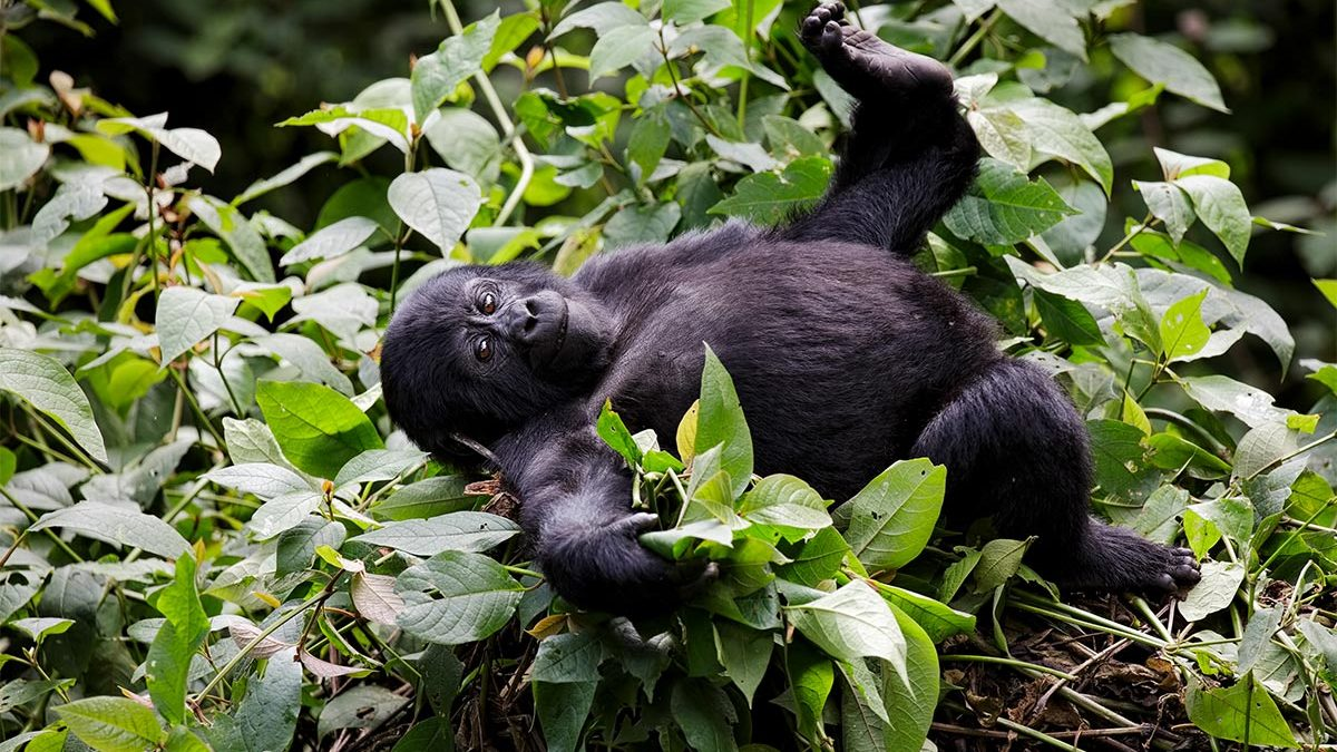gorilla trekking in low season