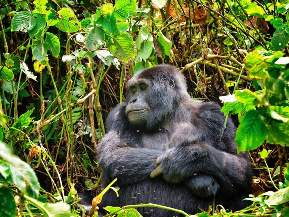 gorilla trekking in march