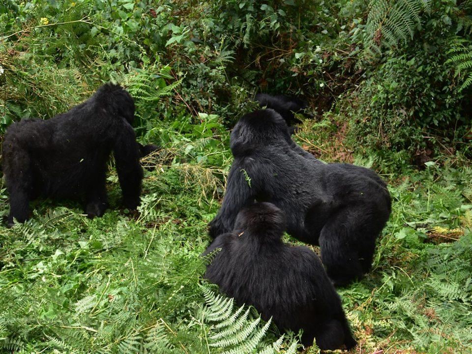 Gorilla trekking altitude and acclimatization