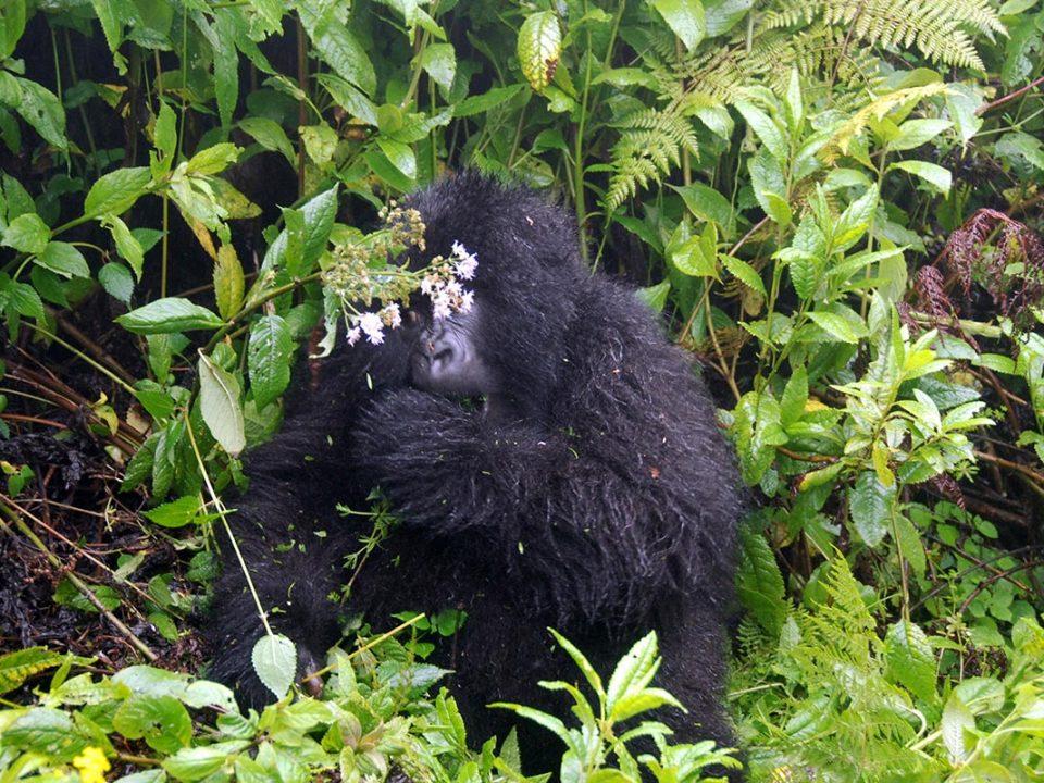 Great gorilla trekking safaris in uagdna