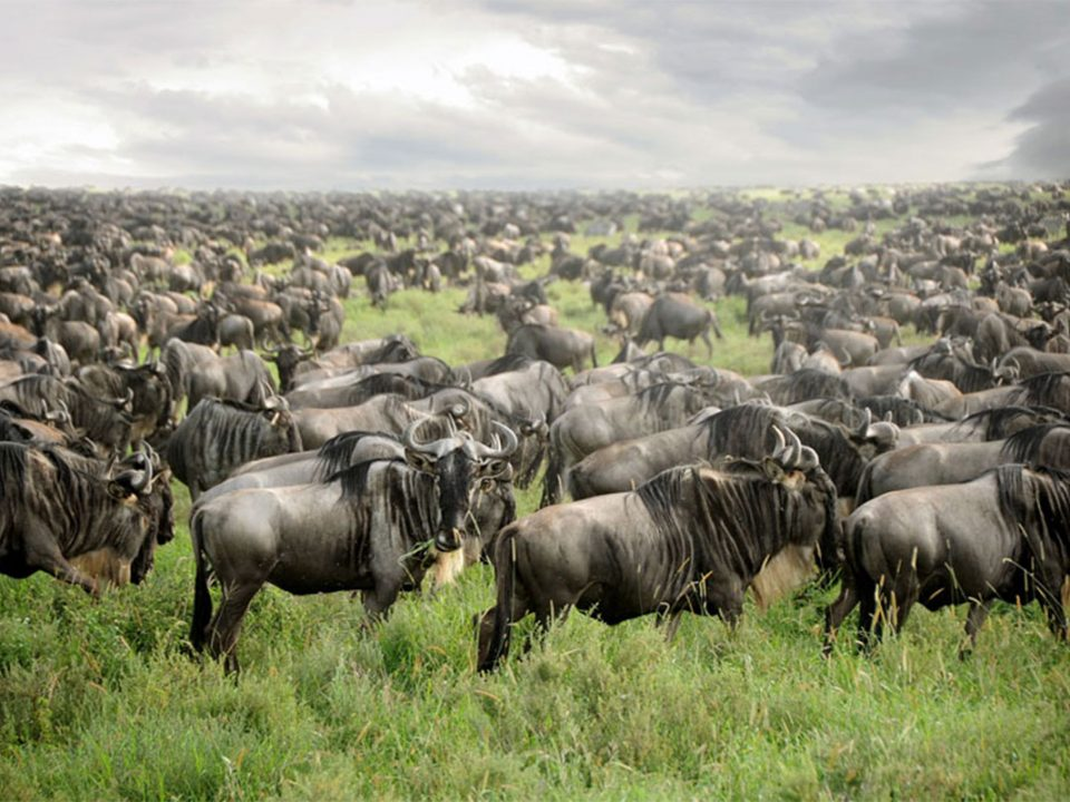 Great wildebeest migration holidays in Tanzania