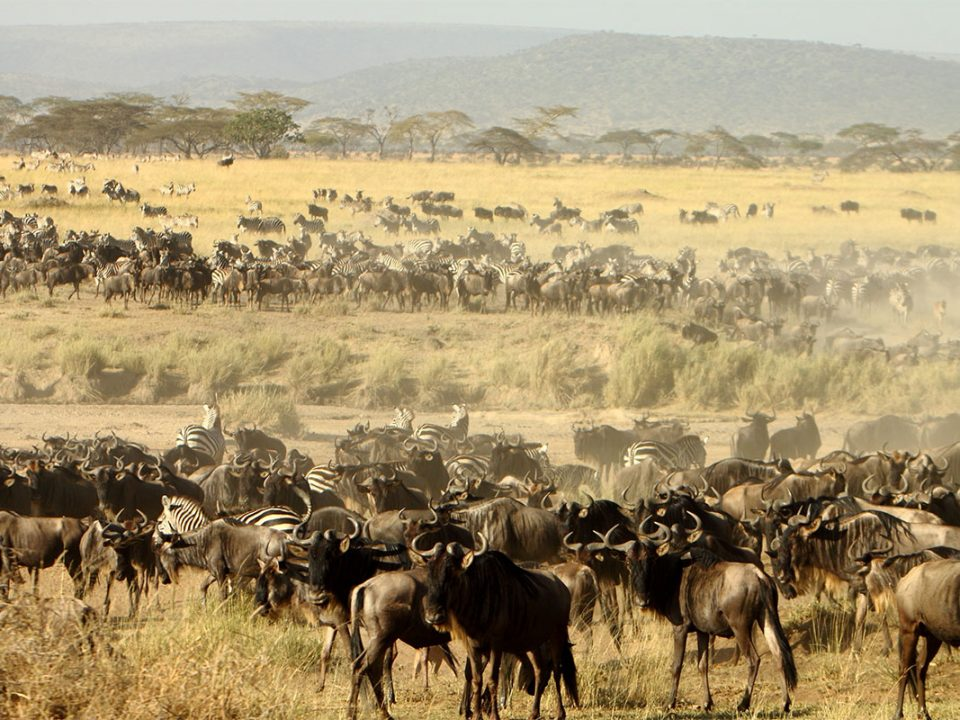 Great wildebeest migration in Masai Mara Kenya