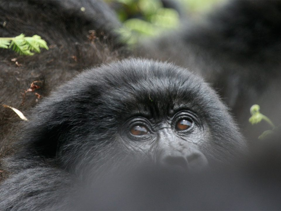 Guaranteed gorilla habituation permits