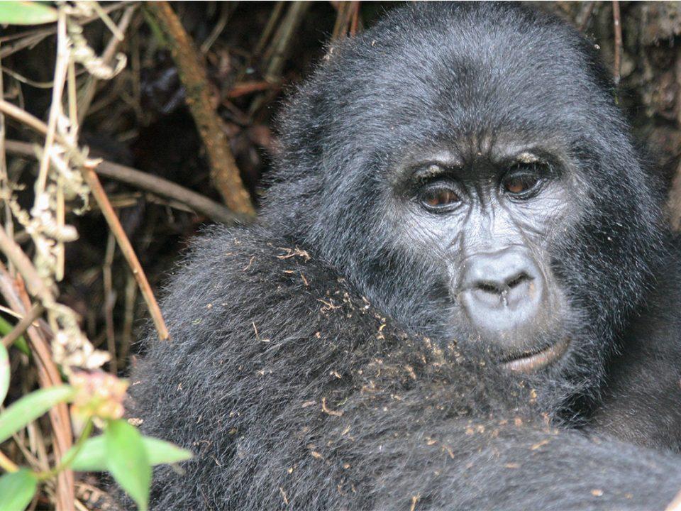 Guaranteed gorilla permits for Uganda