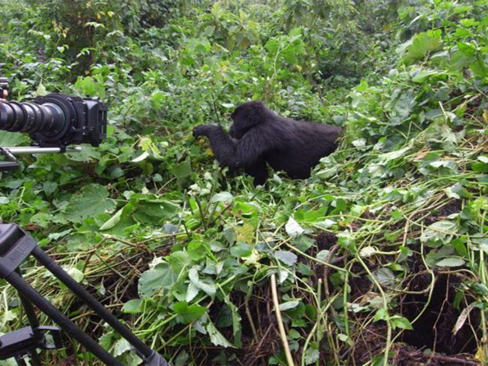Handy gude to filming mountain gorillas