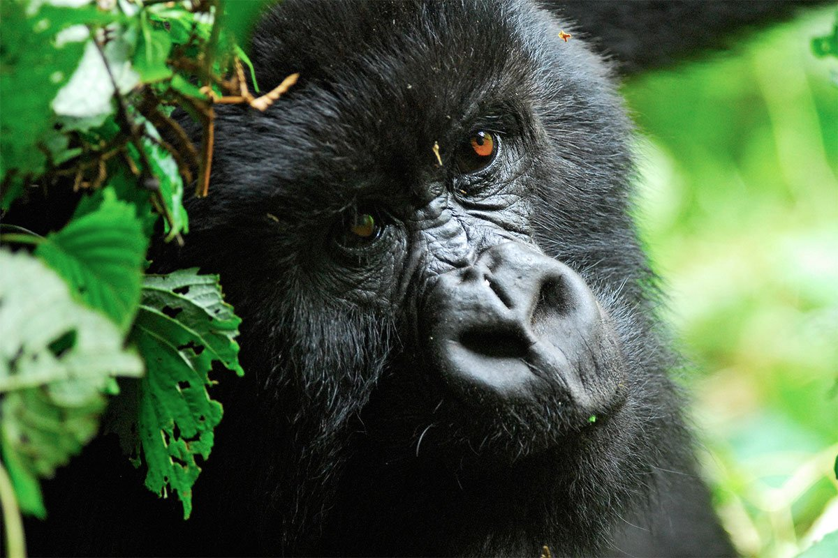 How is gorilla habituation different from gorilla tracking