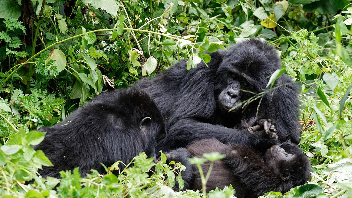 How long does gorilla trekking take?
