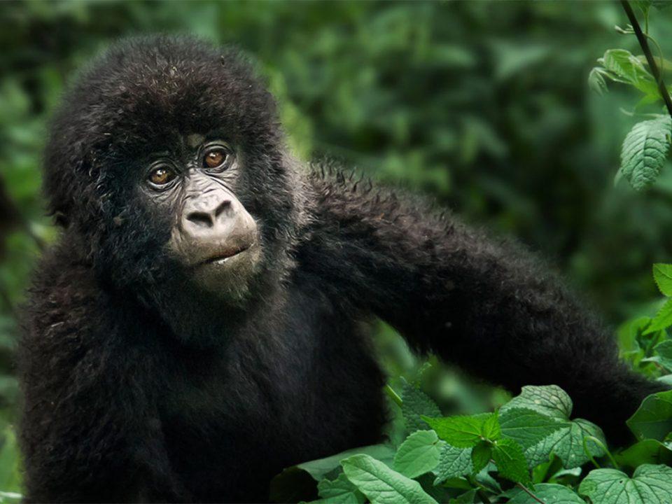 How many gorilla permits available in Uganda daily