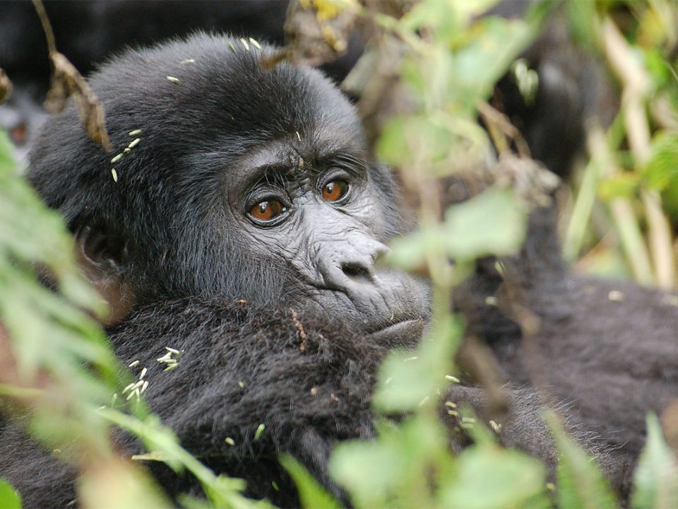 How many mountain gorillas are left