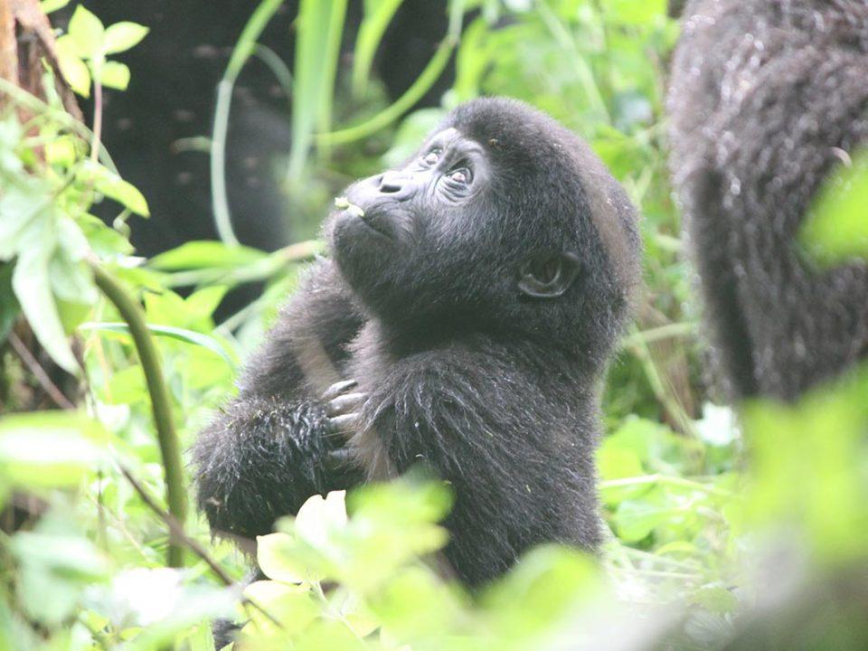 How safe is Gorilla trekking in Uganda, Great Adventures Uganda