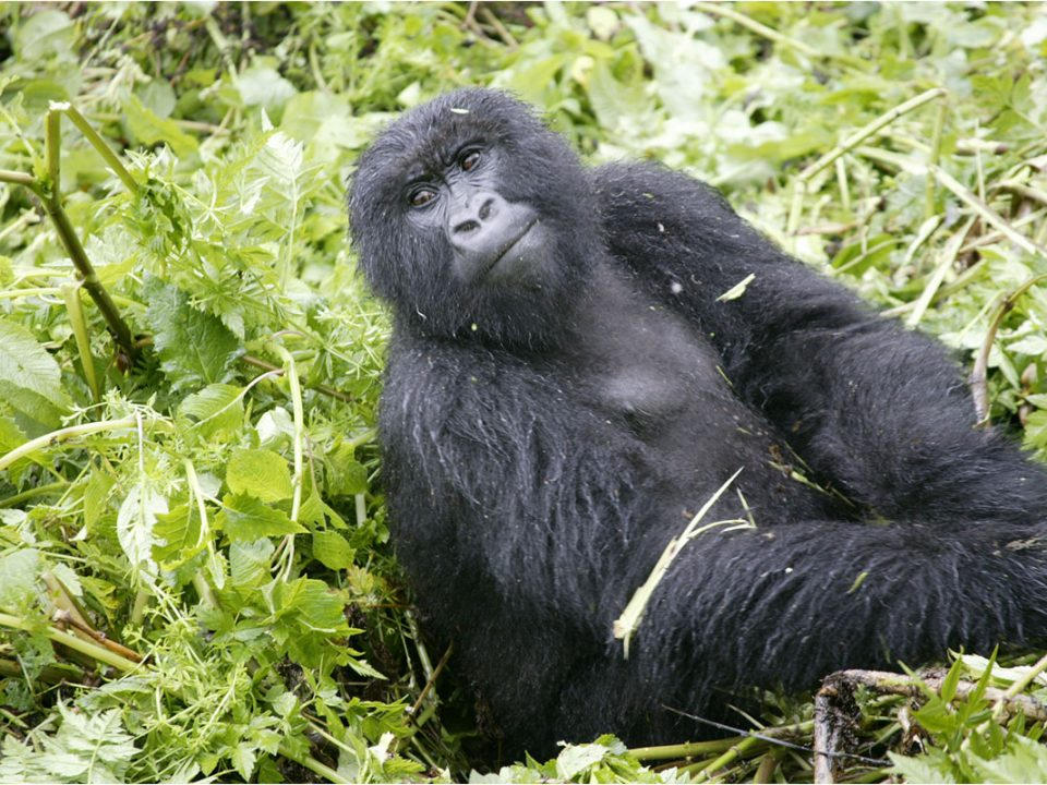 Gorilla tracking safety in Uganda