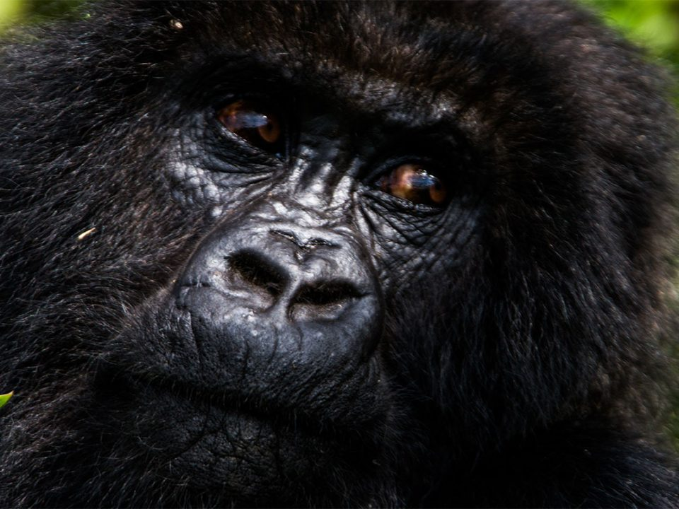 How to spend more time with mountain gorillas