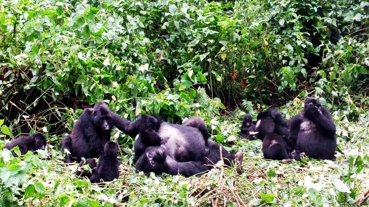 Gorilla families in Uganda,Budget Gorilla tracking in Uganda,Gorilla permits in Uganda