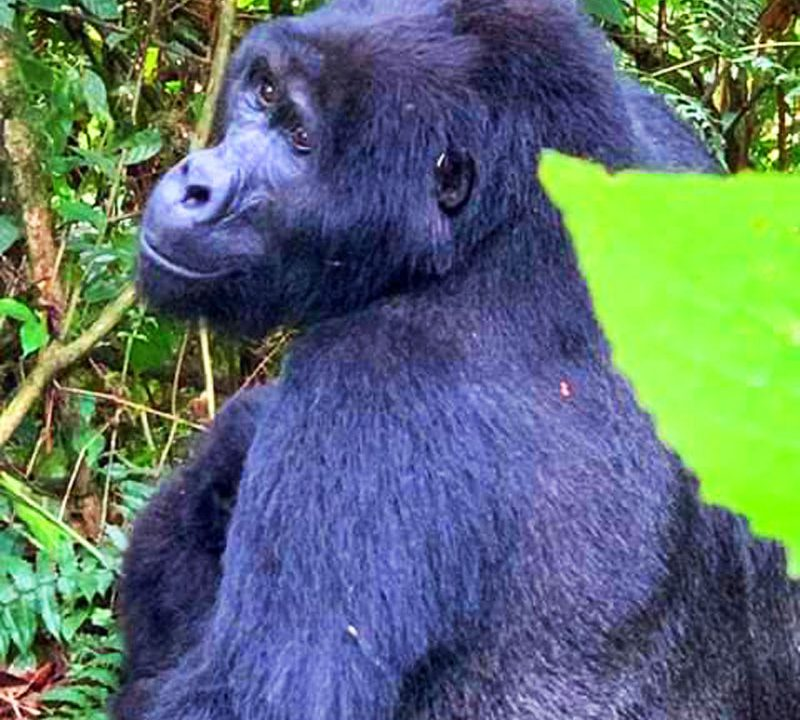 Gorilla Habituation Experience,Great Adventure safaris
