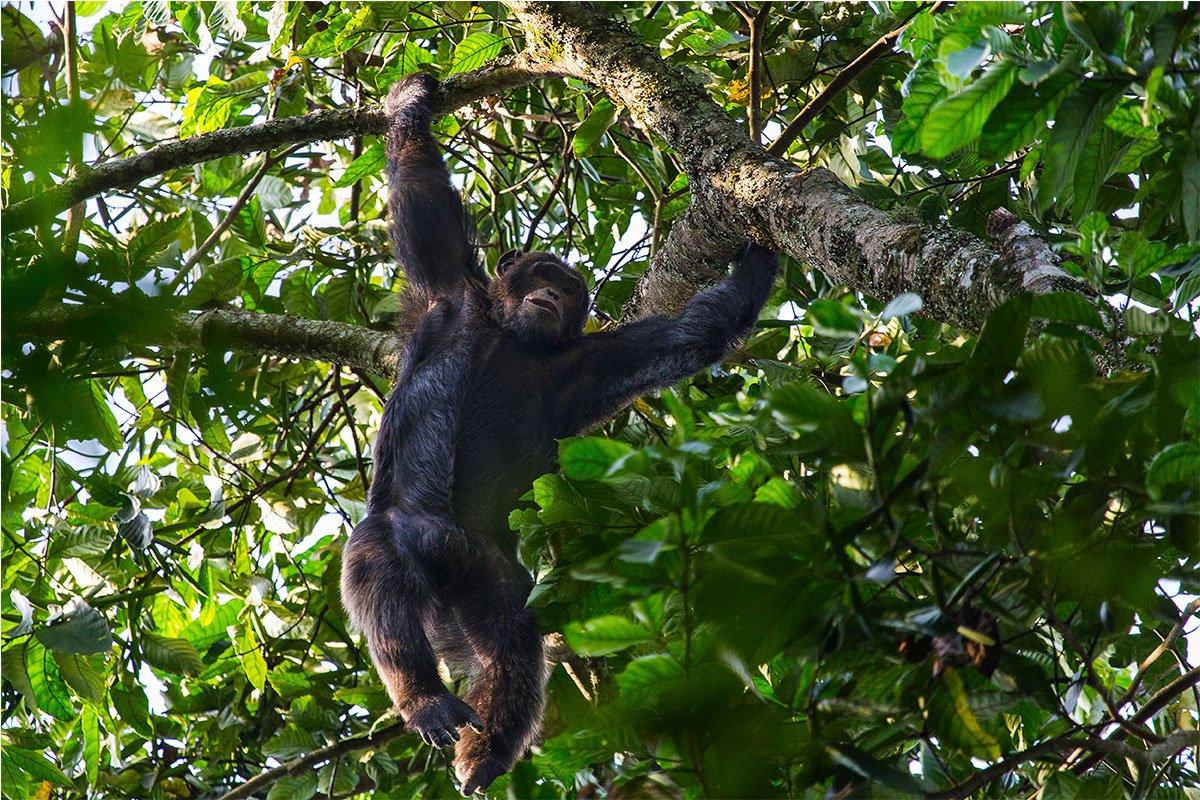 Iconic primates tracking safari holiday