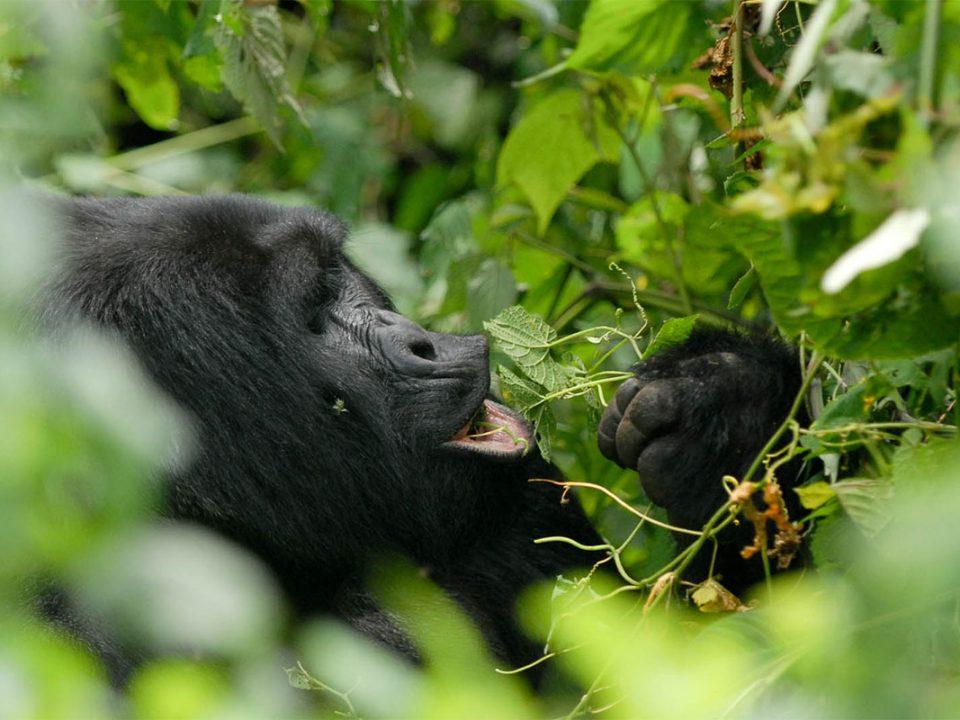 Is Uganda or Rwanda better for gorilla trekking