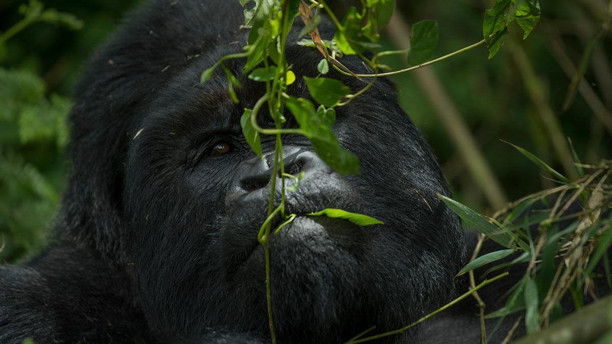 Is gorilla trekking ethical?