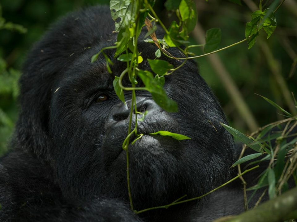Is gorilla trekking ethical?