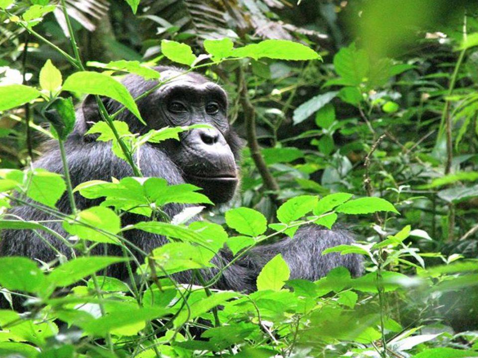 Kibale forest Chimpanze trekking,Great adventures Uganda