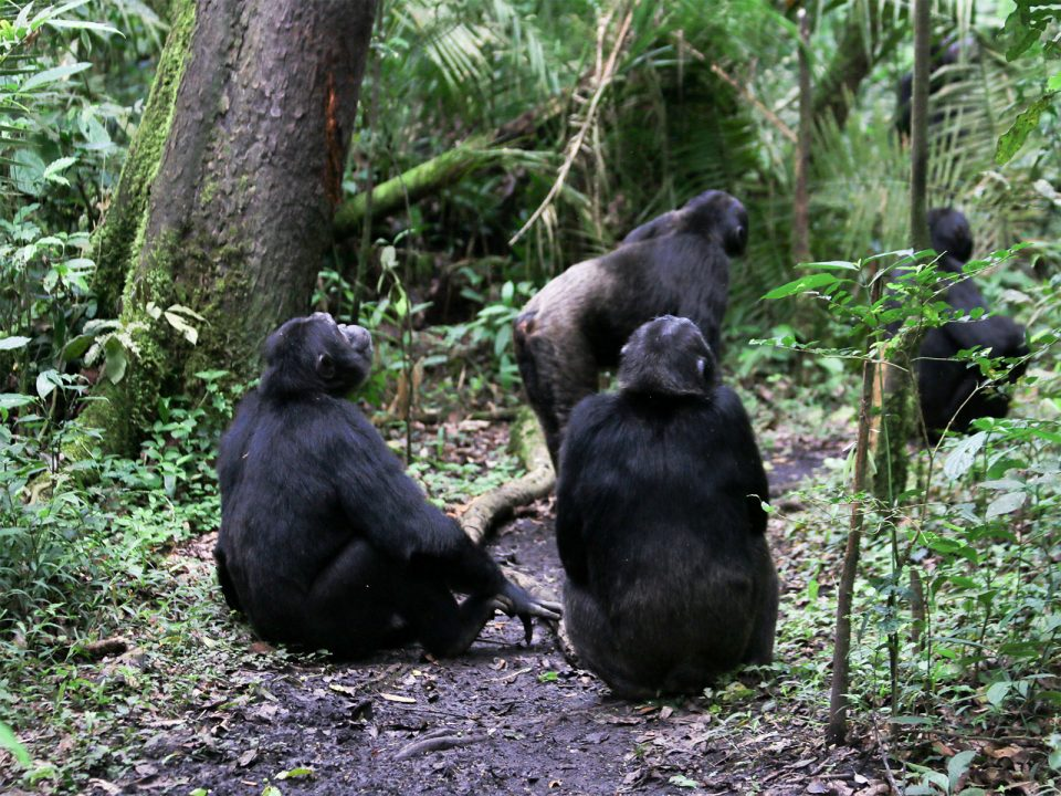 Kibale forest chimpanzee habituation experience