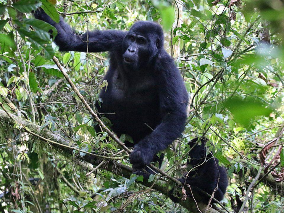 Kwitonda gorilla family group