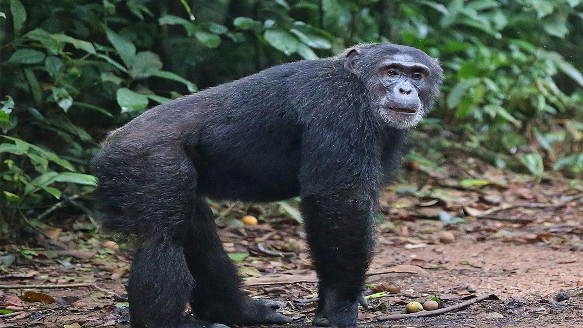 Kyambura George chimpanzee tracking