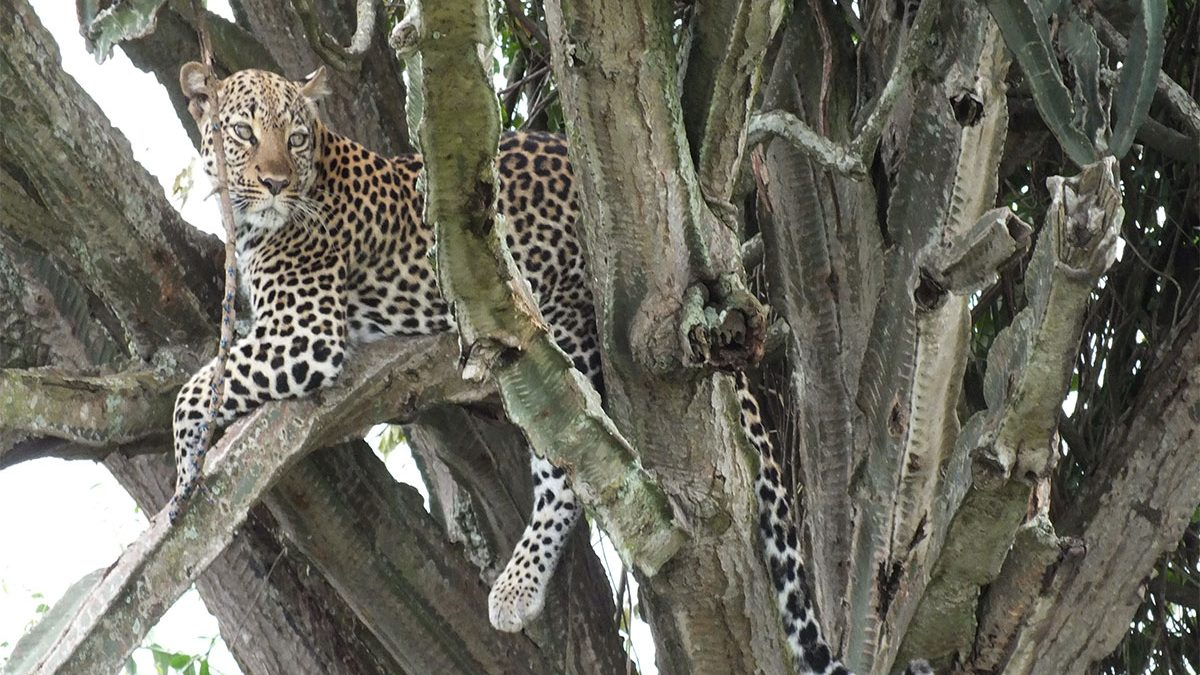 Leopard tracking experience in Queen Elizabeth National Park
