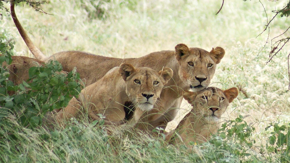 Lion tracking experience in Queen Elizabeth National Park