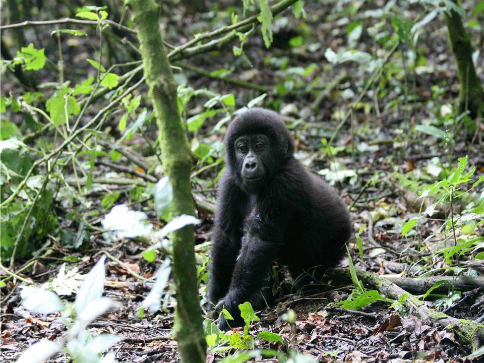 Rwanda luxury gorilla trips and primate safari