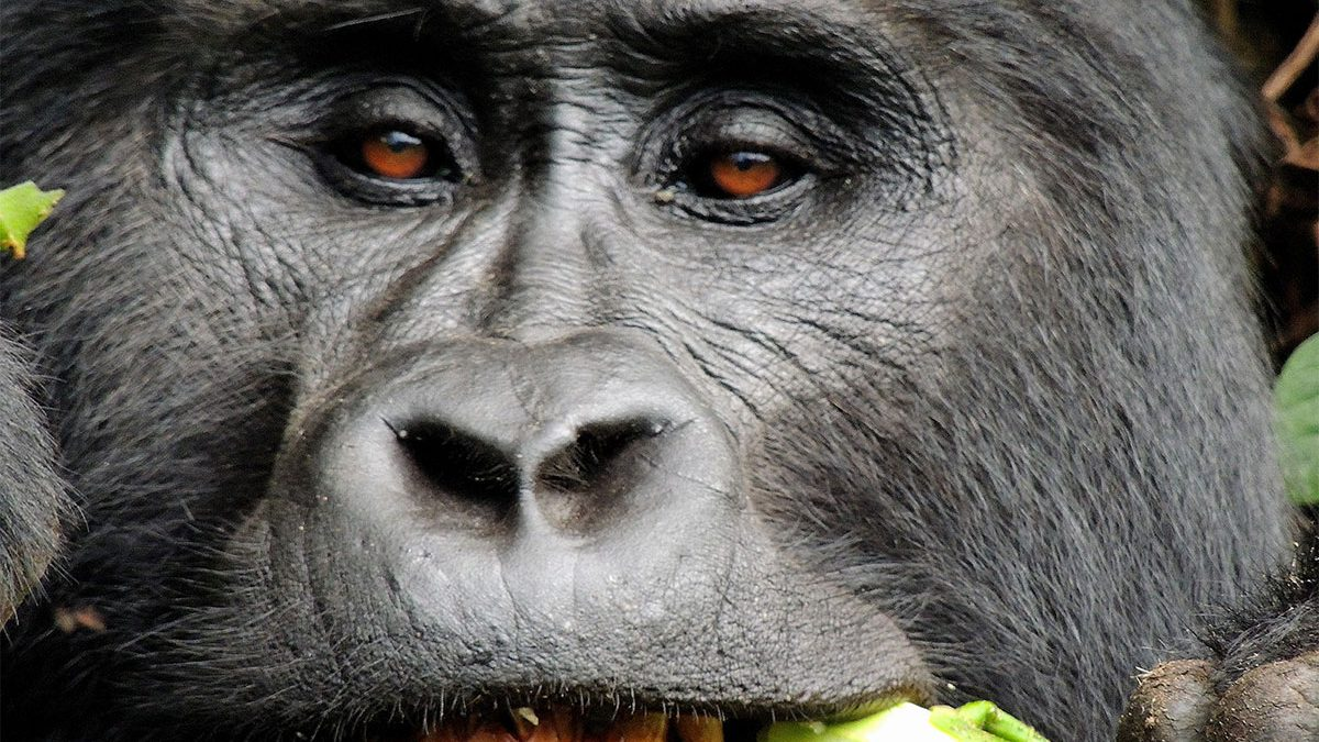 Luxury gorilla safari holidays