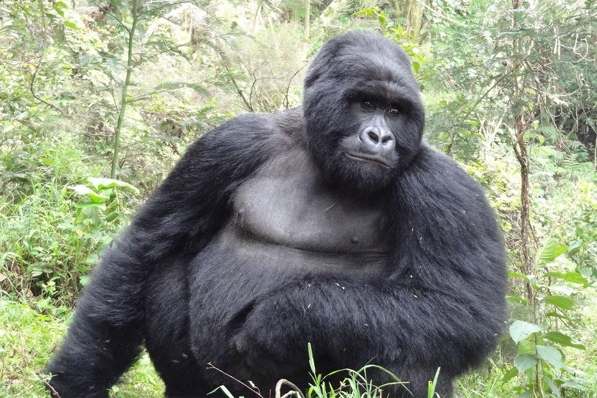 Luxury gorilla safaris to mgahinga