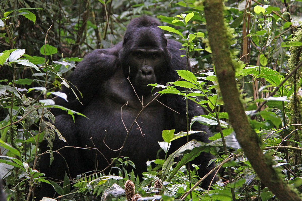 Luxury stay in buhoma & trek gorillas in Ruhija