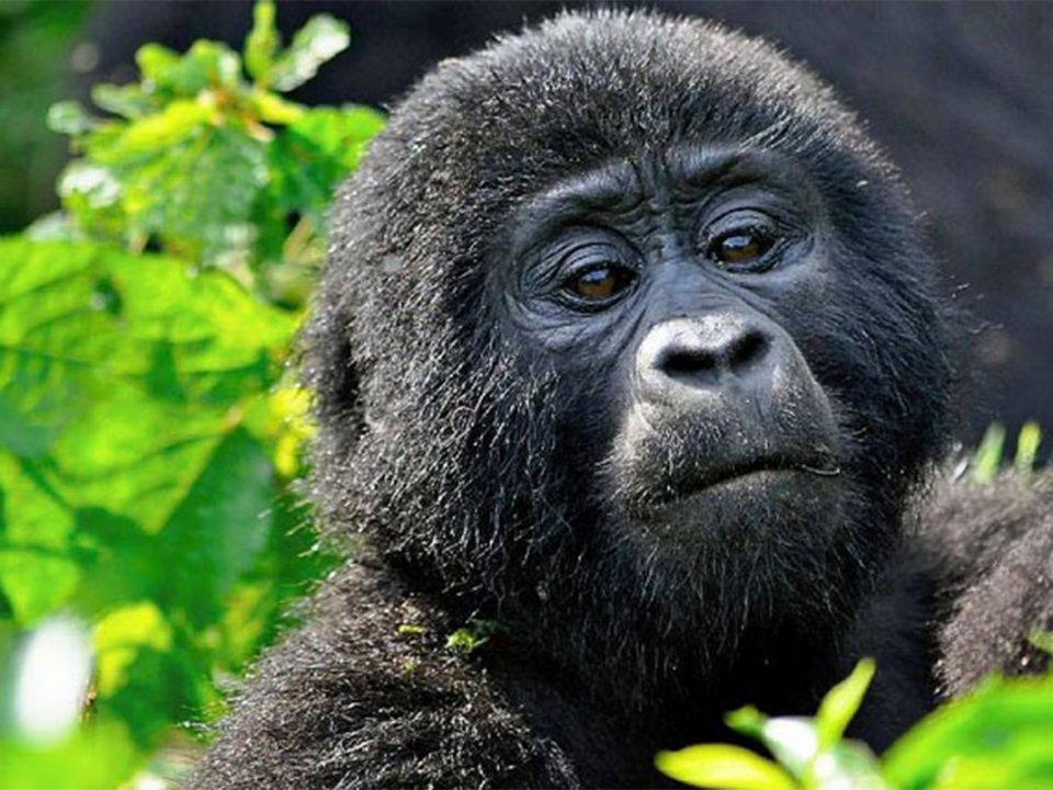 Meet the primates of Uganda and Rwanda
