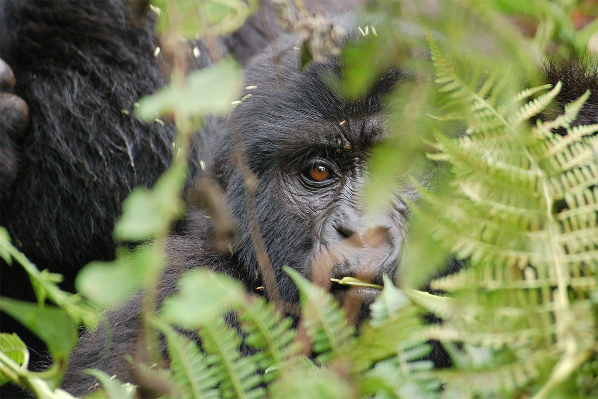 3 Days Mgahinga gorilla trekking safari